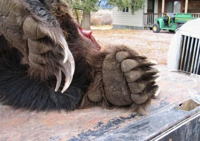 mishku-zhalko-stolknovenie-grizli-s-harley-devidson