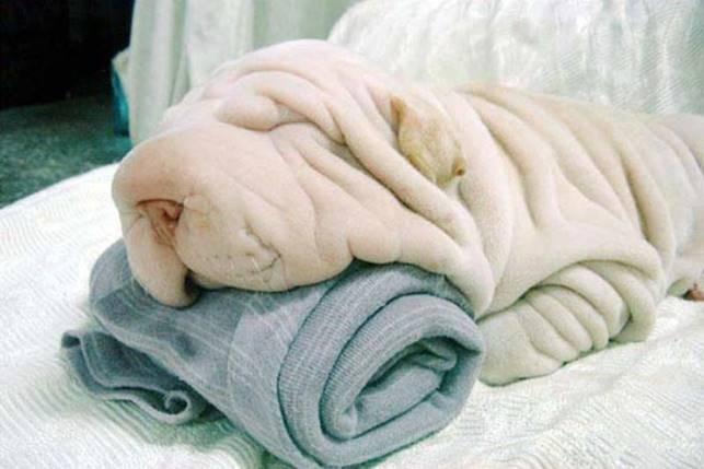 Собака, которую легко принять за скомканное полотенце