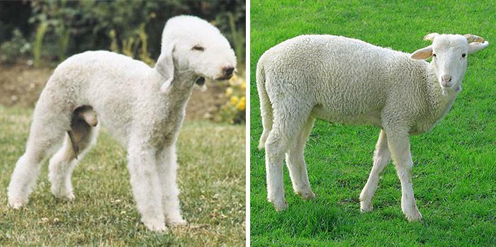 Бедлингтон—терьер похож на овечку