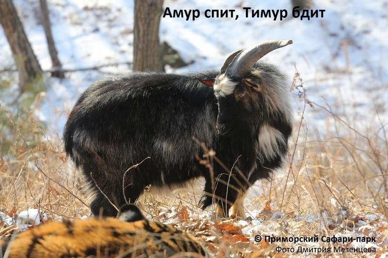 lyubov-zla-primorskiy-tigr-zhivet-s-kozlom