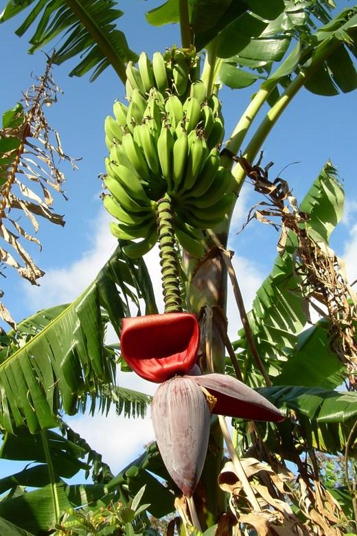 kak-rastut-ekzoticheskie-fruktyi