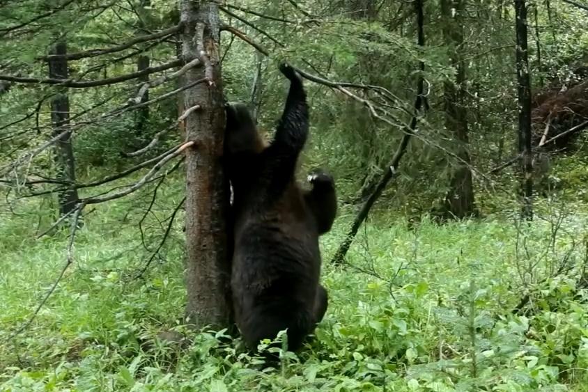 Как медведи гризли танцуют буги
