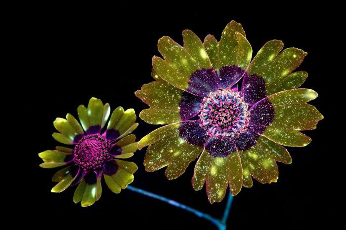 Крейг фотографирует цветы с использованием техники под названием UVIVF.