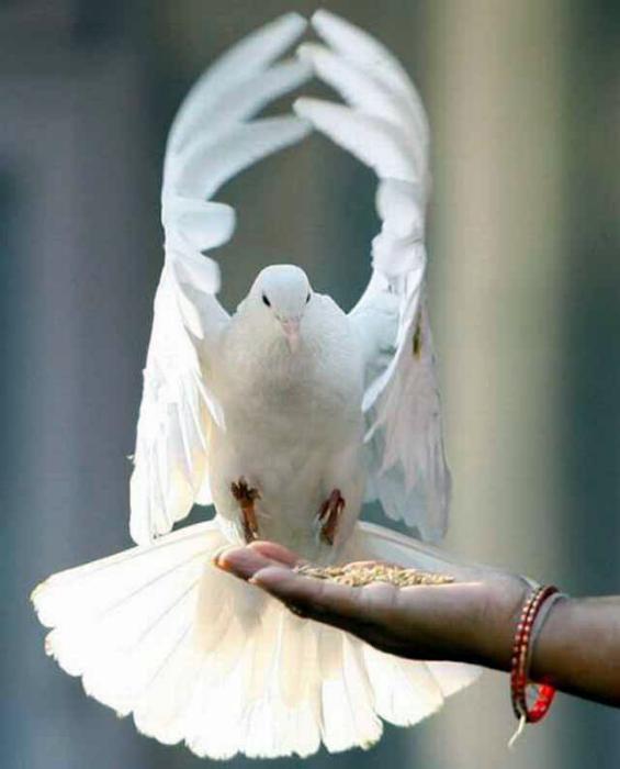 Белый голубь.