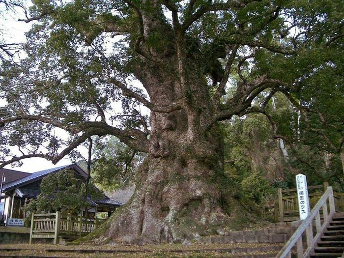 Метасеквойя. Из подобного дерева был вырезан Восточный лев.