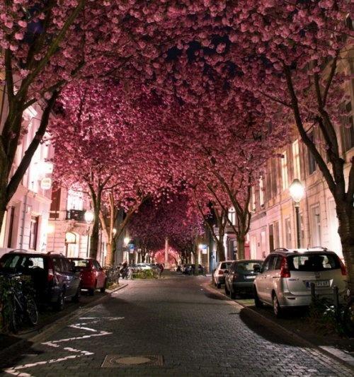 Улица Черри Блоссом (Cherry Blossom Street), город Бонн (Bonn), Германия