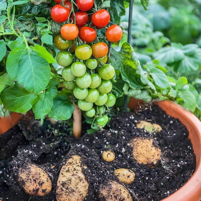 В верхней части растения зреют помидоры черри, а в нижней - белый картофель, соединенные одним стеблем.