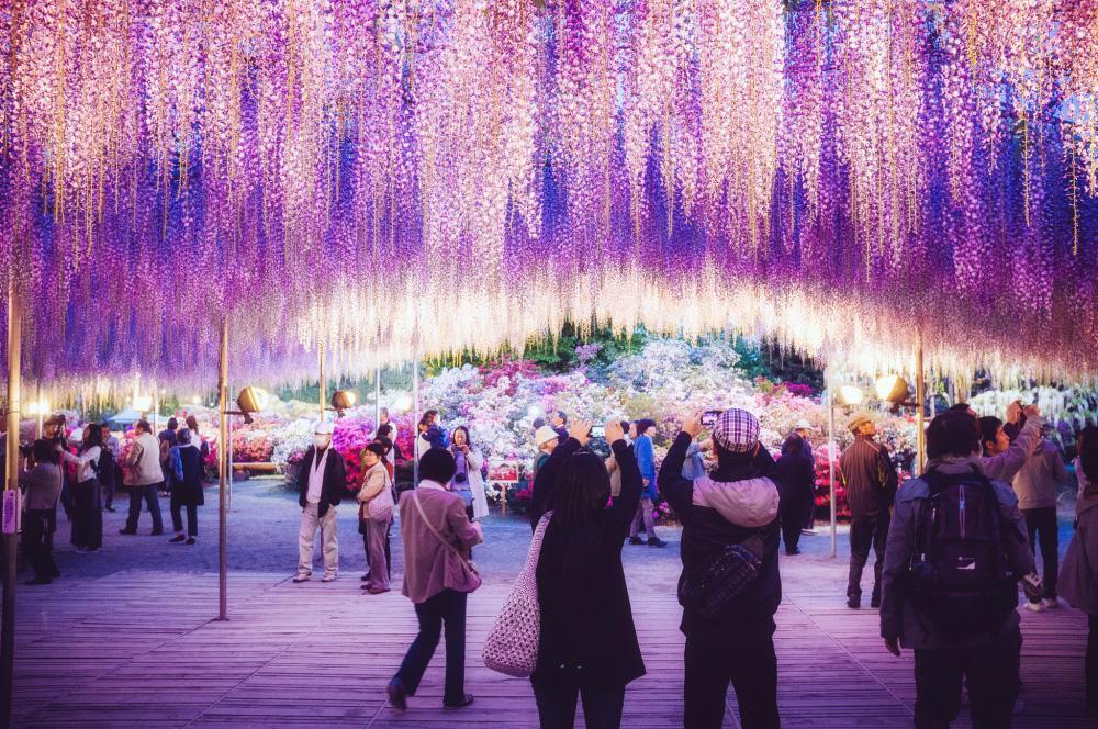 Водопад глициний в Японии – неземная красота!