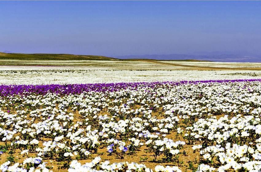 Цветущая пустыня. Пустыня Атакама, Чили