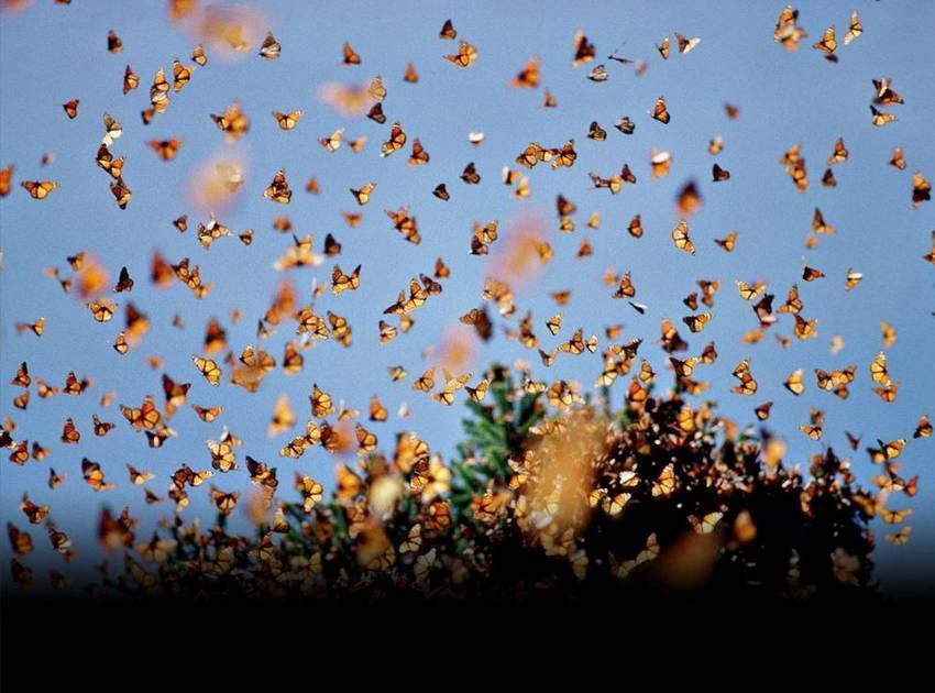 Парад бабочек. Центральная и Южная Калифорния, США