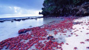Шествие крабов. Остров Рождества, Австралия