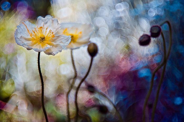 Волшебные цветы. Magdalena Wasiczek.