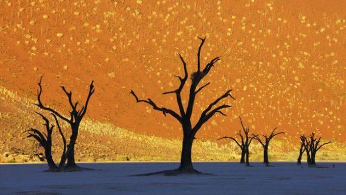 Высохшие остовы деревьев в прибрежной африканской пустыне Намиб.