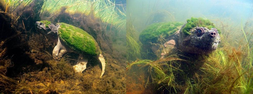 Покрытая водорослями черепаха